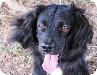 Border Collie/Cocker Spaniel Mix Dog for adoption in Waterbury, Connecticut - Kristen