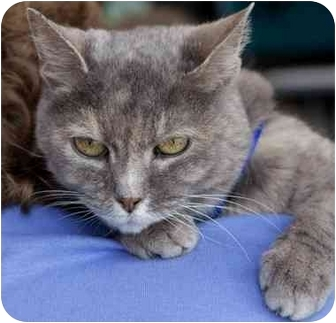 Domestic Shorthair Cat for adoption in Olive Branch, Mississippi - Moonbeam