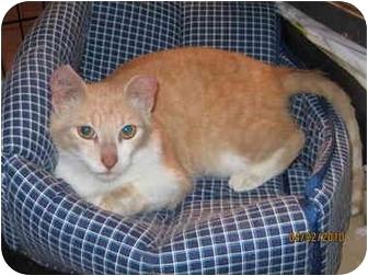 Domestic Mediumhair Cat for adoption in Okotoks, Alberta - Thomas