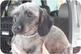Dachshund/Schnauzer (Miniature) Mix Puppy for adoption in Warsaw, Indiana - Max