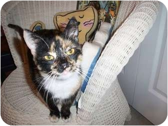 Domestic Shorthair Cat for adoption in Jenkintown, Pennsylvania - Carly