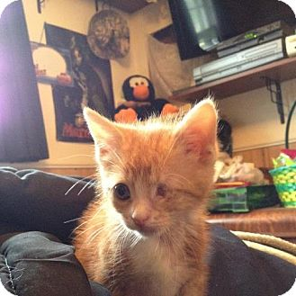 American Shorthair Kitten for adoption in New Egypt, New Jersey - Mikey