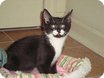 Domestic Shorthair Kitten for adoption in Little Falls, New Jersey - Dewey (KL)