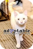 Domestic Shorthair Kitten for adoption in Okotoks, Alberta - Cane