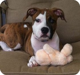 American Bulldog/American Staffordshire Terrier Mix Puppy for adoption in North Olmsted, Ohio - Lucy