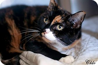 Calico Cat for adoption in Manahawkin, New Jersey - Chloe