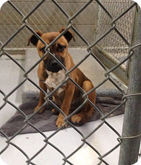 Boxer Mix Puppy for adoption in MARION, Virginia - Rusty (Urgent)