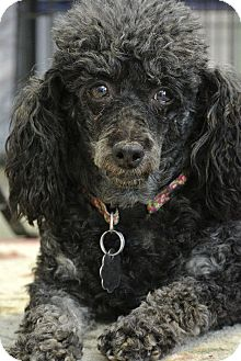 Poodle (Miniature) Dog for adoption in New Freedom, Pennsylvania - Fanny