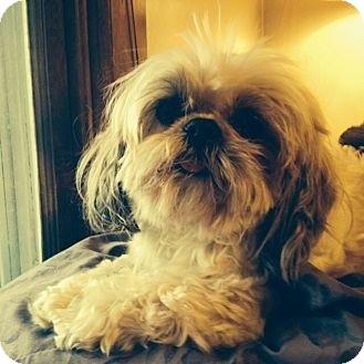 Shih Tzu Mix Dog for adoption in ST LOUIS, Missouri - Miss Sugar Britches