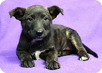 Retriever (Unknown Type) Mix Puppy for adoption in Westminster, Colorado - Sicily