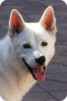 Husky/Shepherd (Unknown Type) Mix Puppy for adoption in Torrance, California - Boltz