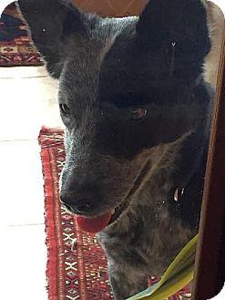 Australian Cattle Dog Mix Dog for adoption in Austin, Texas - Peppa