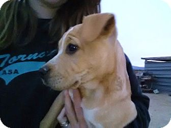 Labrador Retriever/Pit Bull Terrier Mix Puppy for adoption in Vancouver, British Columbia - Luke