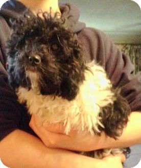 Miniature Poodle Puppy for adoption in Liberty Center, Ohio - Curly PENDING ADOPTION