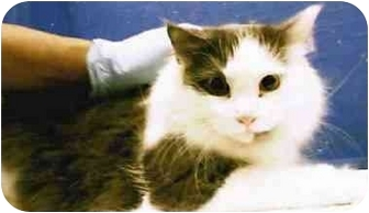 Maine Coon Cat for adoption in New York, New York - Nicky