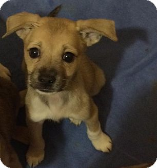 Italian Greyhound/Terrier (Unknown Type, Small) Mix Dog for adoption in Chandler, Arizona - Small Fry