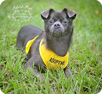 Pug/Chihuahua Mix Dog for adoption in Fort Valley, Georgia - Tiny Moo