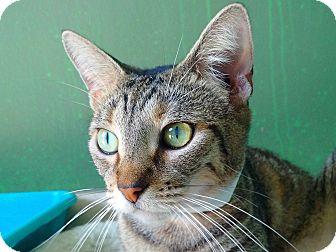 Domestic Shorthair Cat for adoption in Ft. Lauderdale, Florida - Lori