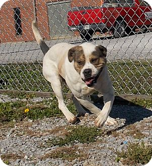 Boxer/English Bulldog Mix Dog for adoption in Lewisburg, Tennessee - Blizzard