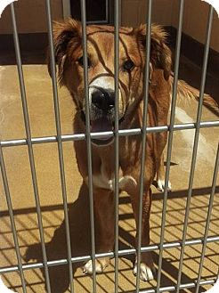 Retriever (Unknown Type) Mix Dog for adoption in Las Vegas, Nevada - Charlie