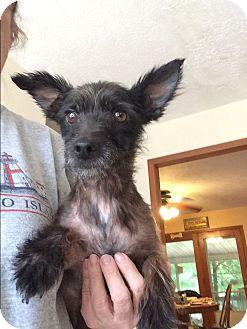 Yorkie, Yorkshire Terrier Mix Dog for adoption in Savannah, Tennessee - jax