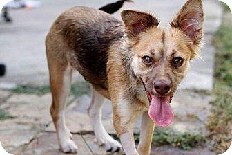 Shepherd (Unknown Type)/Spaniel (Unknown Type) Mix Dog for adoption in Austin, Texas - Willa