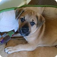 Adopt A Pet :: Sisko - Knoxville, TN
