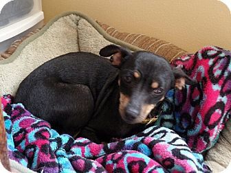 Miniature Pinscher/Chihuahua Mix Dog for adoption in Hermitage, Tennessee - Bella