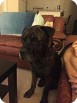 Bullmastiff Dog for adoption in North Port, Florida - Brody