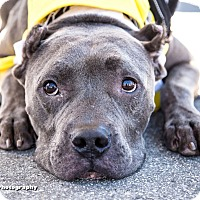 Adopt A Pet :: Bowie - La Habra, CA