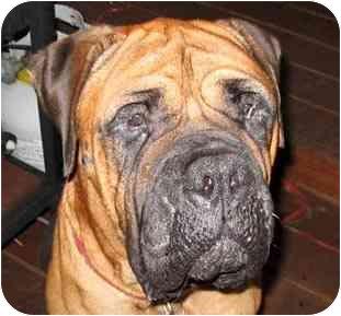 Bullmastiff Dog for adoption in North Port, Florida - Barkley