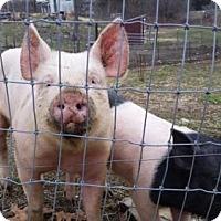 Adopt A Pet :: MARSHMELLOW - Methuen, MA