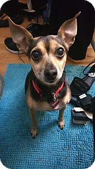 Miniature Pinscher/Rat Terrier Mix Dog for adoption in Centreville, Virginia - Mizzy