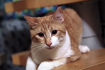 Domestic Shorthair Cat for adoption in St. Louis, Missouri - Sid Vicious