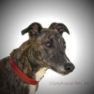 Greyhound Dog for adoption in Woodinville, Washington - Kinko