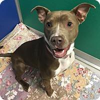 Adopt A Pet :: Bella - Suwanee, GA