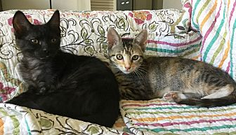 Domestic Shorthair Kitten for adoption in Orange, California - Patty & Eric Clapton