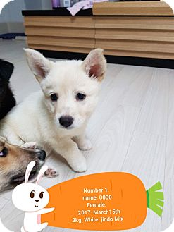 Jindo/Retriever (Unknown Type) Mix Puppy for adoption in los angeles, California - Thea
