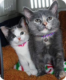 Calico Kitten for adoption in brewerton, New York - molly and chloe