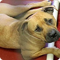 American Pit Bull Terrier Mix Dog for adoption in Phoenix, Arizona - BLAZE