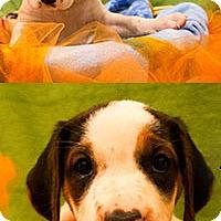 Adopt A Pet :: Dollie's Dharma - Chantilly, VA
