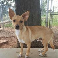 Adopt A Pet :: Jax - Wichita Falls, TX
