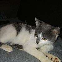 Domestic Shorthair Kitten for adoption in Rochester, Minnesota - HItchhiker