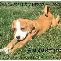 Adopt A Pet :: Augustine - Toledo, OH