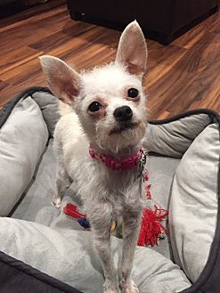 Terrier (Unknown Type, Medium) Mix Dog for adoption in Vacaville, California - Tykie