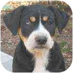 Boxer/Australian Shepherd Mix Puppy for adoption in Pittsboro/Durham, North Carolina - Denali