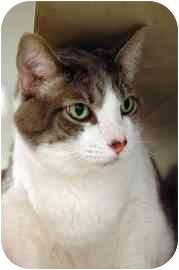 Domestic Shorthair Cat for adoption in Walker, Michigan - Skamper