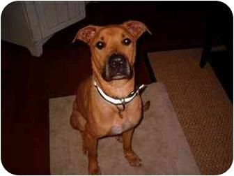 Rhodesian Ridgeback/Shepherd (Unknown Type) Mix Dog for adoption in kennebunkport, Maine - Tony - in Maine!