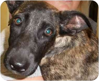 Shepherd (Unknown Type) Puppy for adoption in Burleson, Texas - Roxii