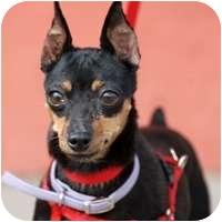 Miniature Pinscher Dog for adoption in Denver, Colorado - GG